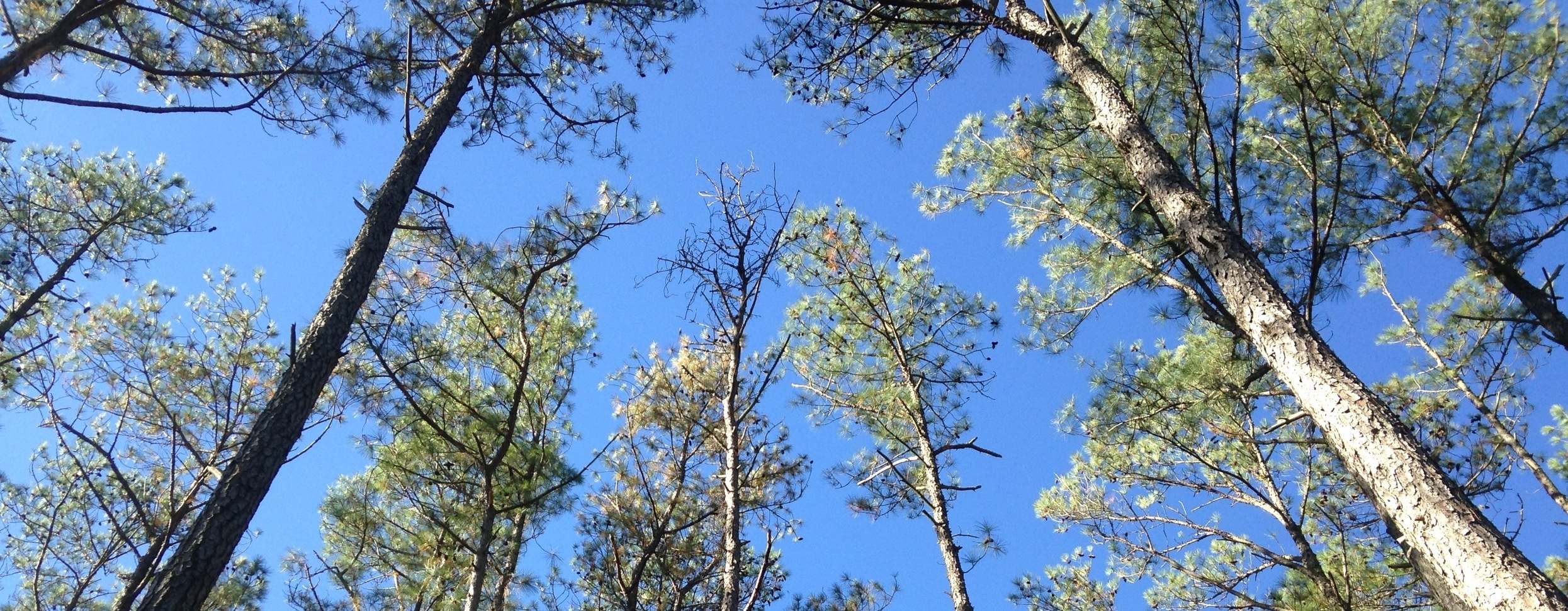 Loblolly pine forest in the Chesapeake Bay's lower eastern shore.