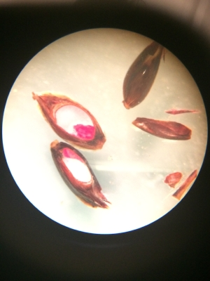Several stained  Sorghum halepense  seeds