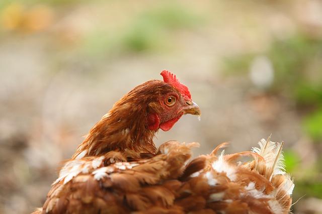 laying-hens-1716422_640.jpg