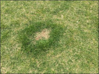 Dog-Urine-Kills-Grass.png