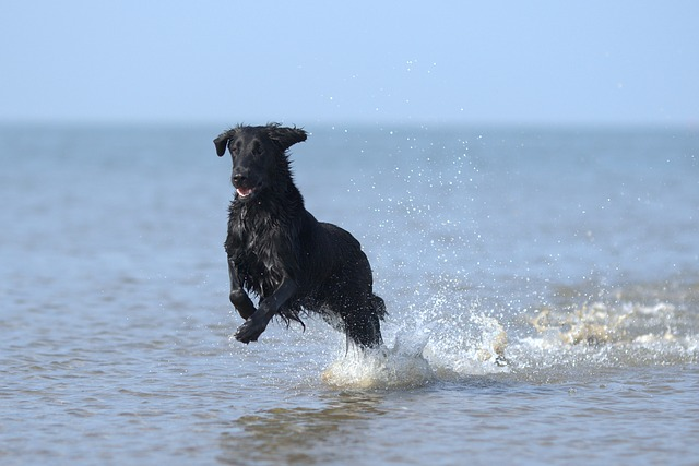 flatcoated-retriever-3299393_640.jpg