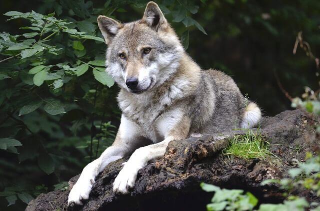 wolf-1336229_640.jpg