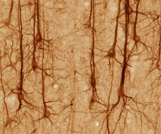 frontiers, evolution of the brain.jpg