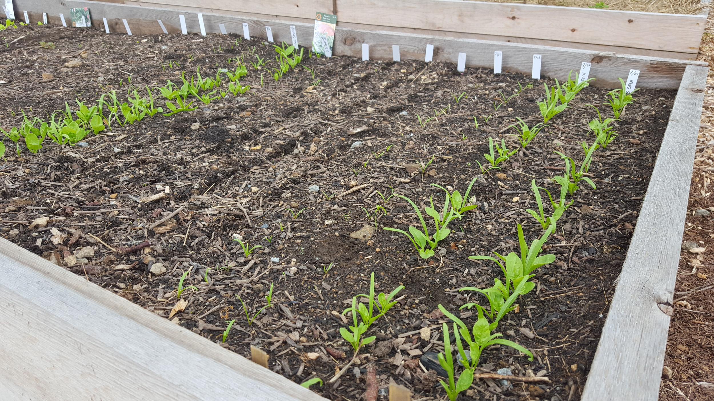 Staggering weekly plantings of spinach and lettuce is a good way to get the most out of our maturing veggies while also allowing us to dial in the best planting dates.  Once a week we plant new rows for 3 -4 weeks total.  Raised beds and proper planning make this technique optimal for us.