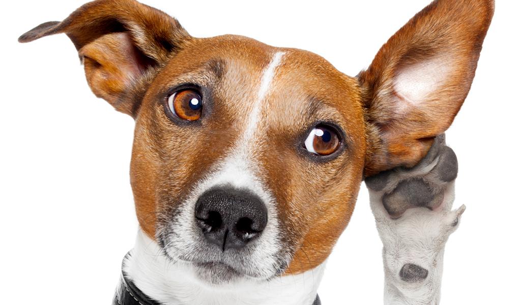 Perrito tratando de escuchar bien