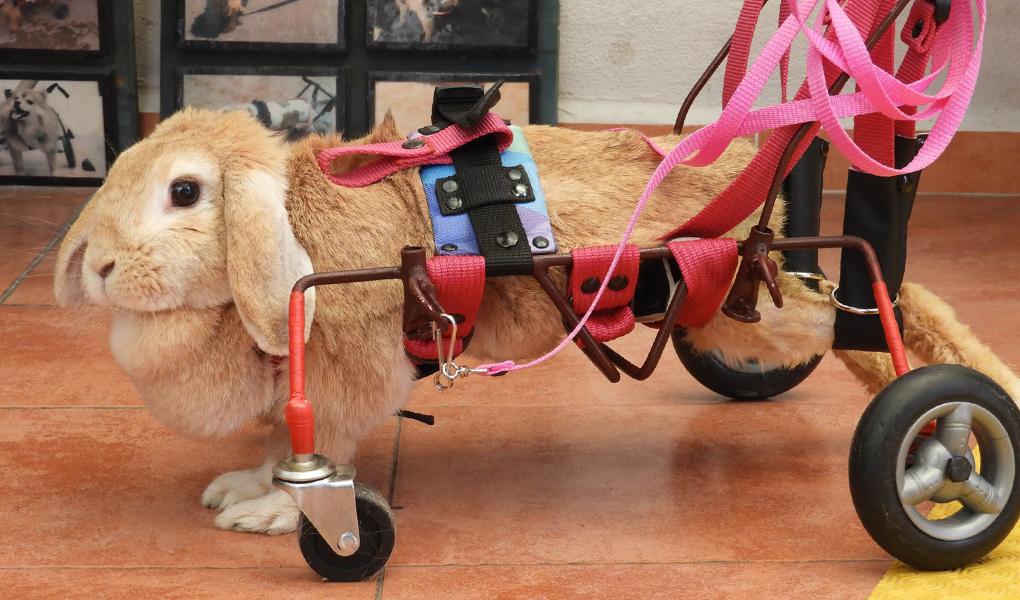 Silla de ruedas para conejo