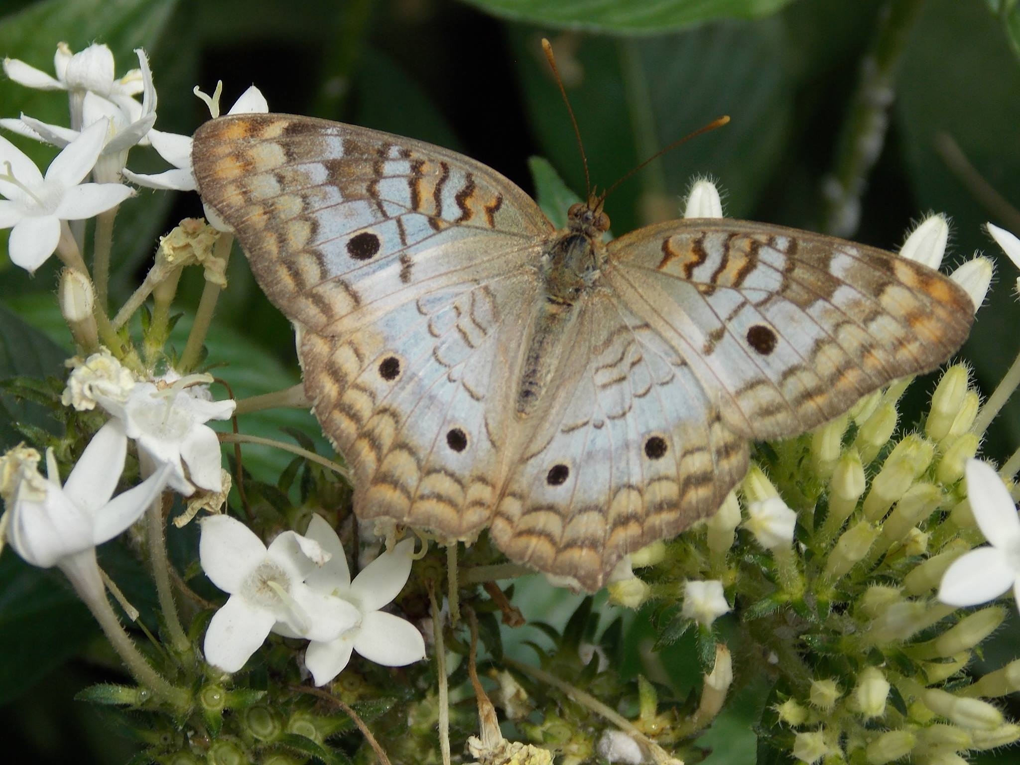 Photo taken during a visit to Butterfly Place in Chelmsford, MA -  The hint of light blue with the brown is another color combination I will be keeping in mind.