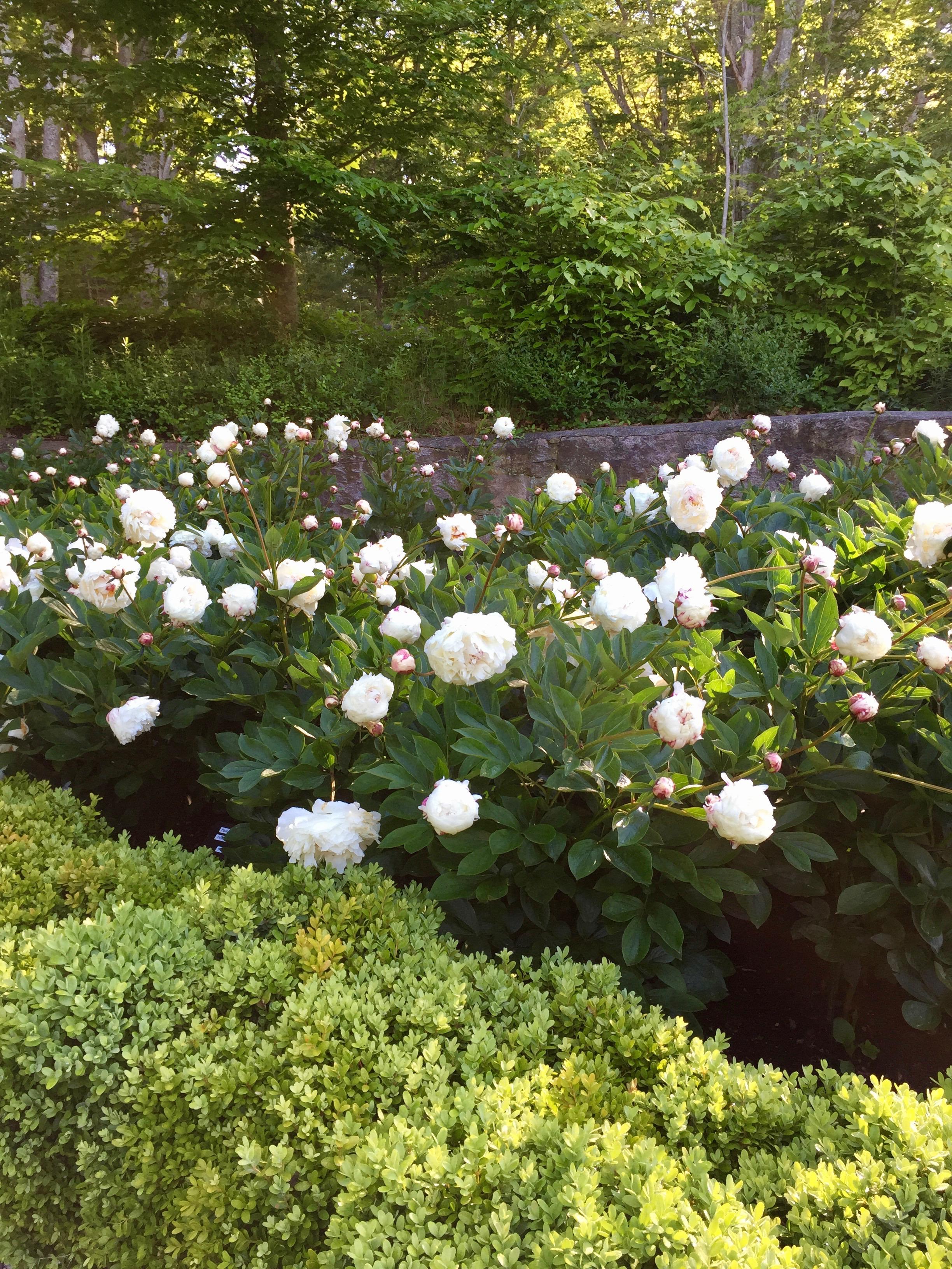Sunken Garden Peonies 9.jpg