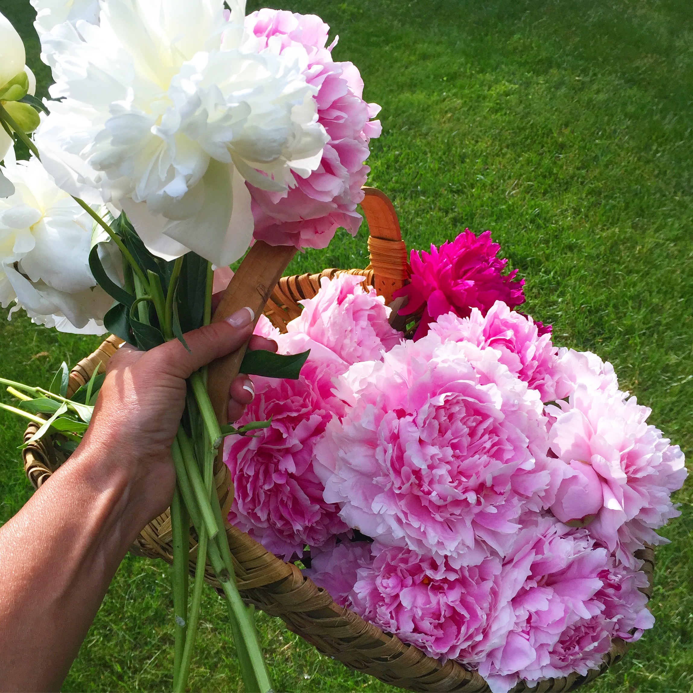 Cutting pink and white peonies in the garden.jpg