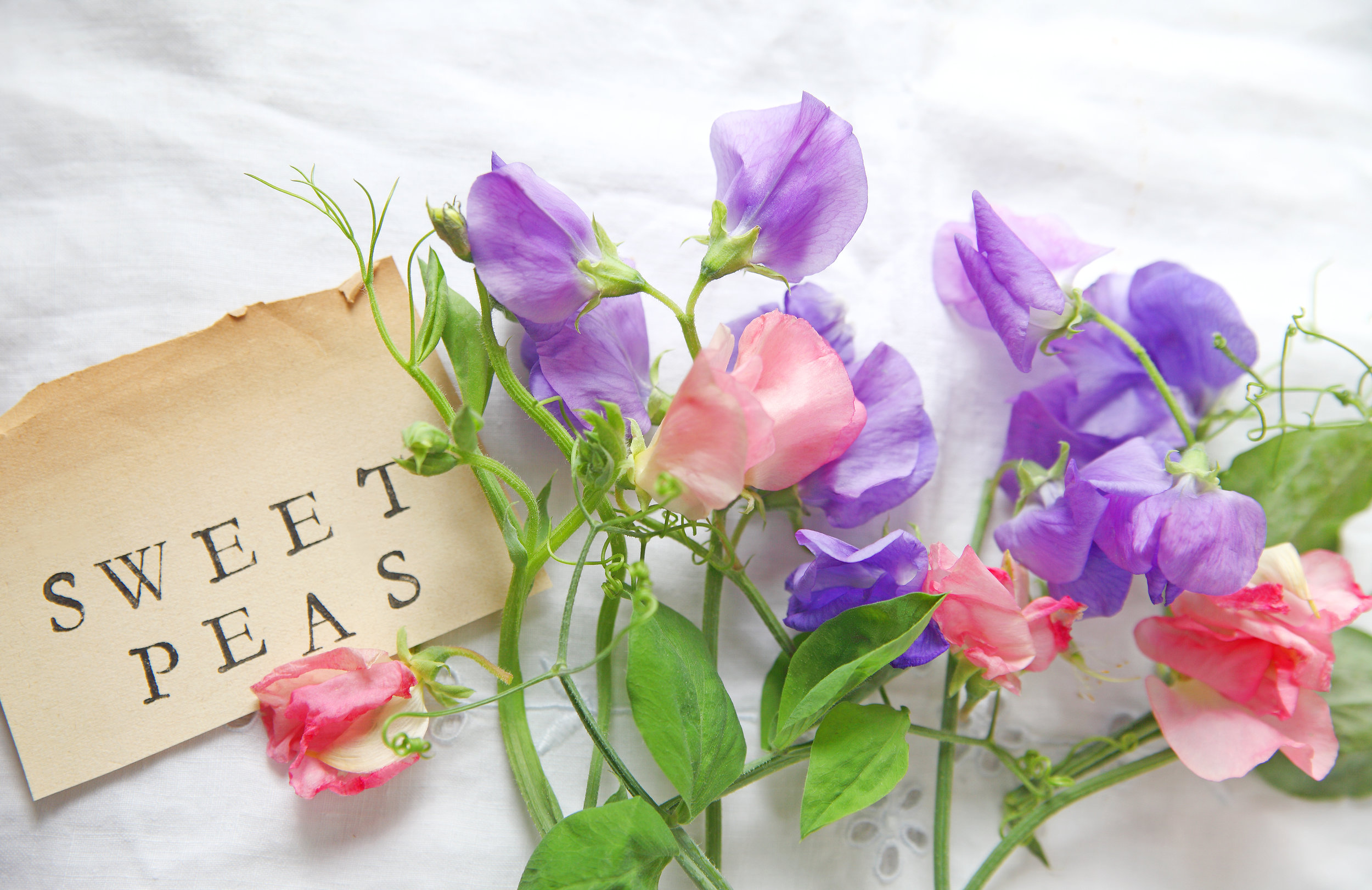 Learning How To Grow Sweet Peas In New England New England Fine