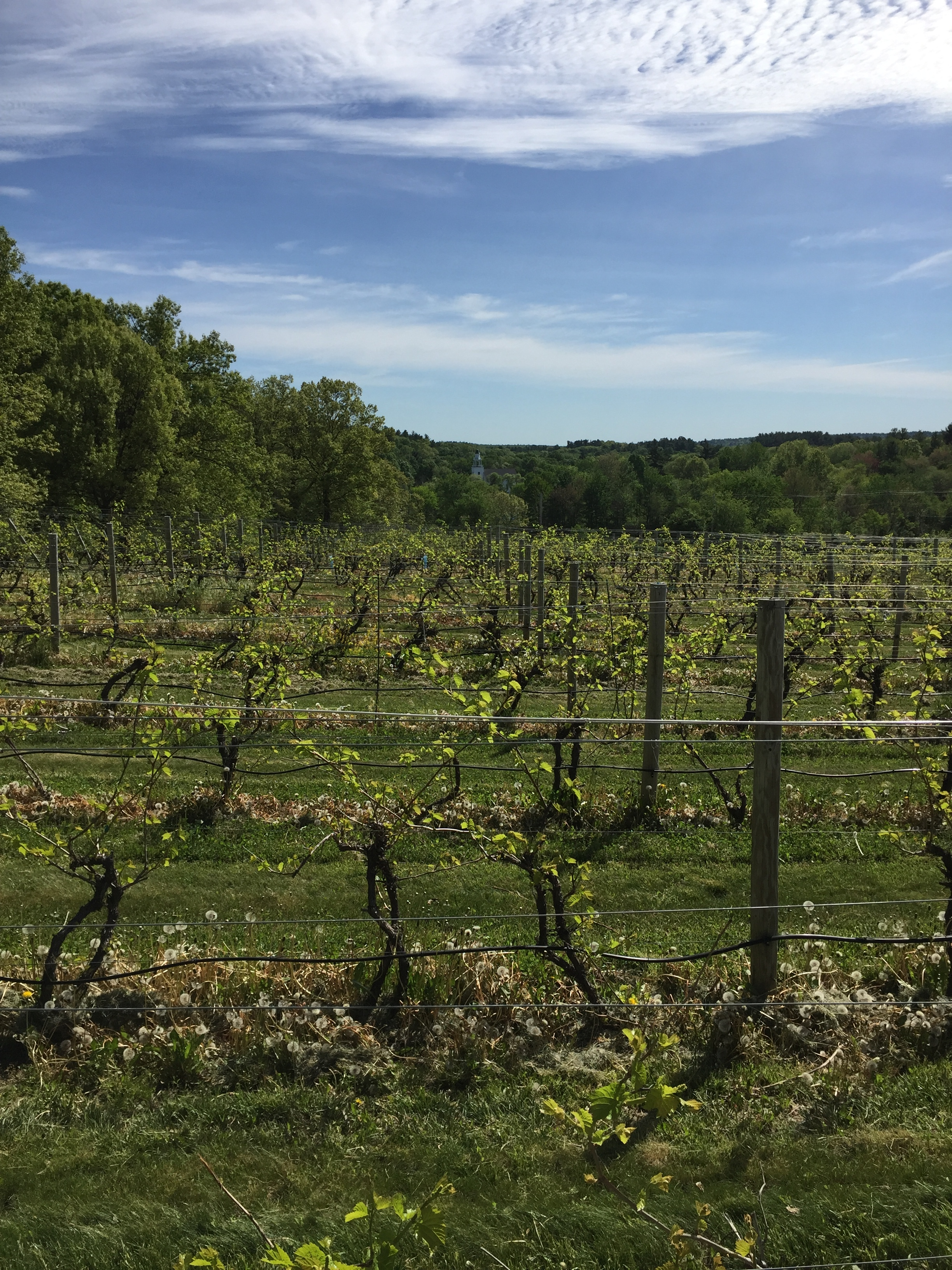grape vines wineries in New England.jpg