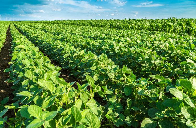 Soybean RDL 2.jpg
