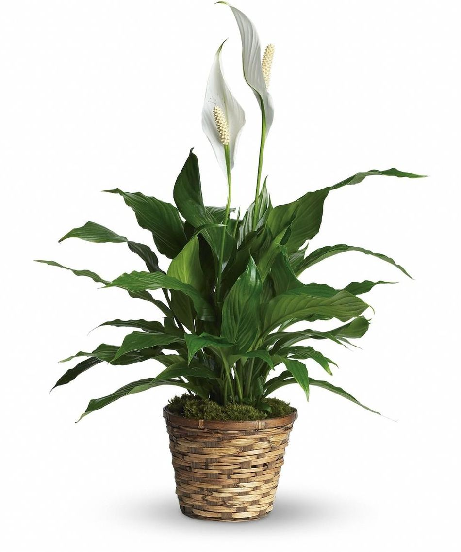 peace-lily-plant.jpg