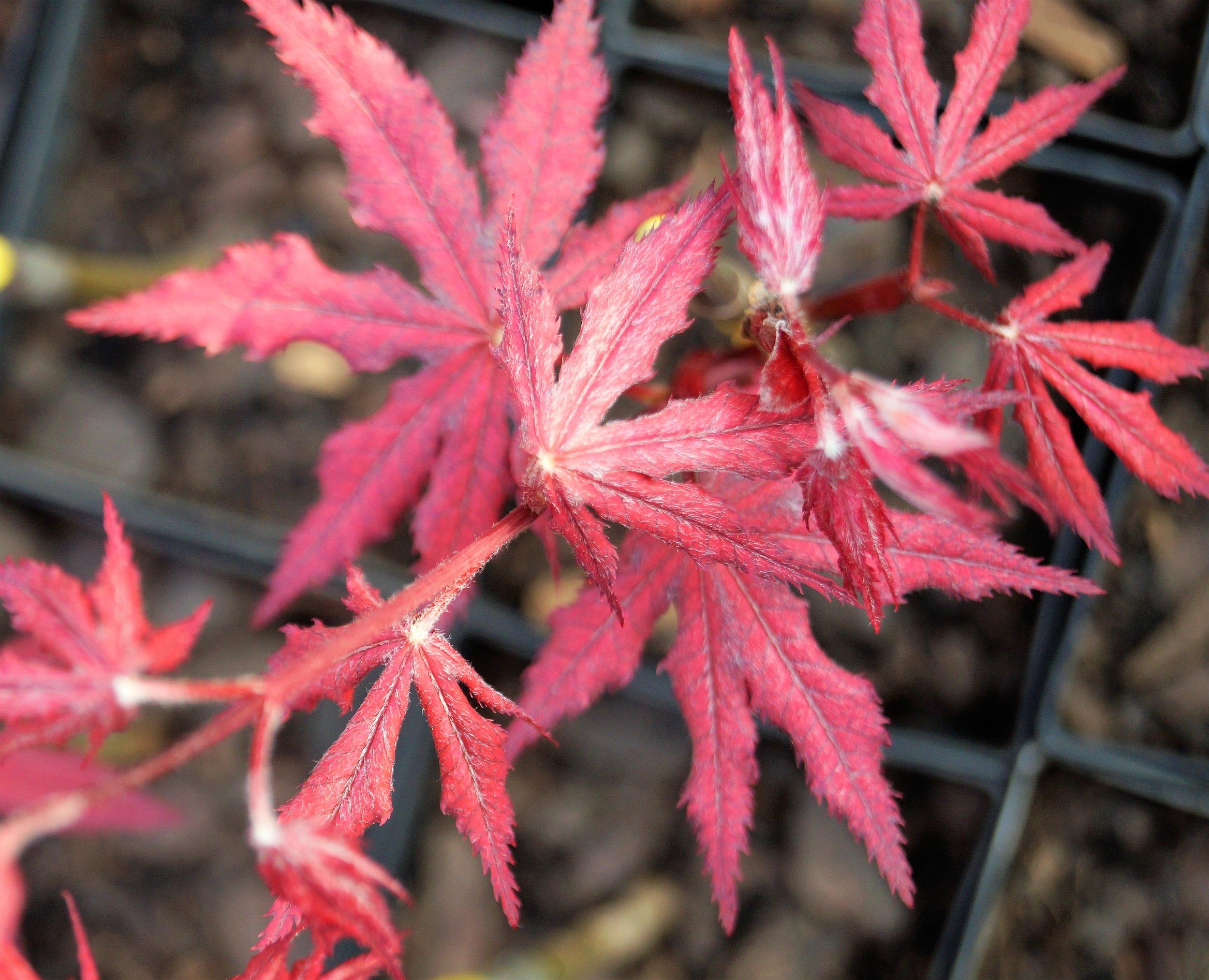 Acer palmatum 'Amagi shigure'