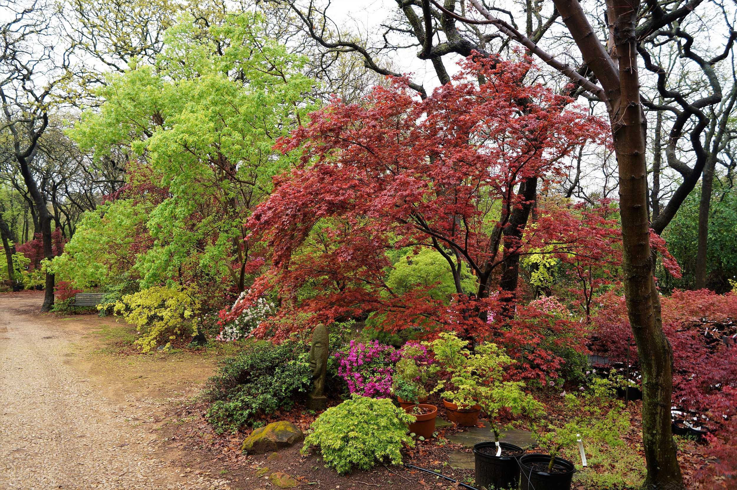 More of the display gardens at Metro Maples. Planted in the foreground is 'Tama hime,' an outstanding dwarf with tiny foliage. 'Boskoop Glory' is beautiful with spring red, and a graceful growth habit.