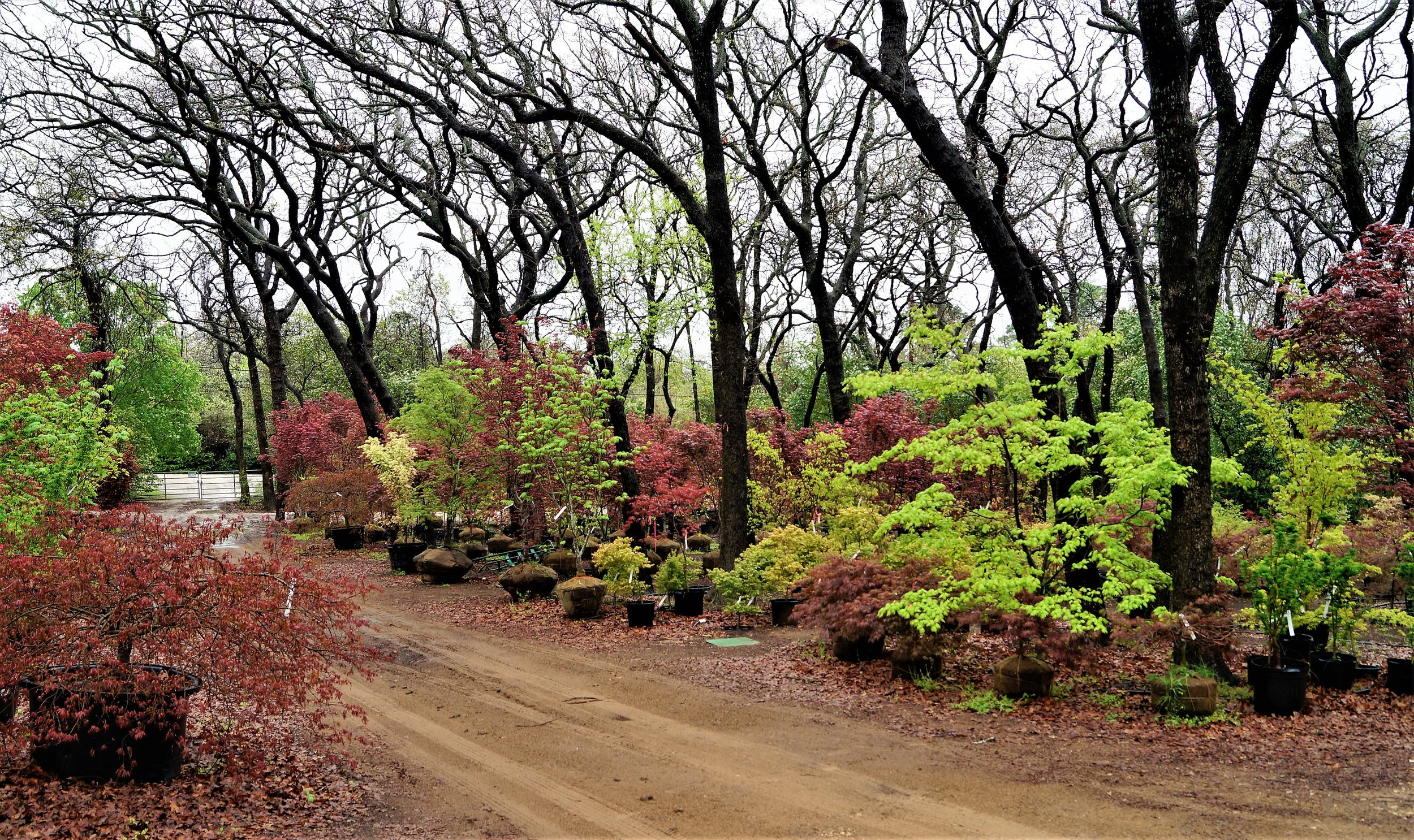 We also have a huge assortment of larger Japanese maples that will make your neighbors envious of your garden!