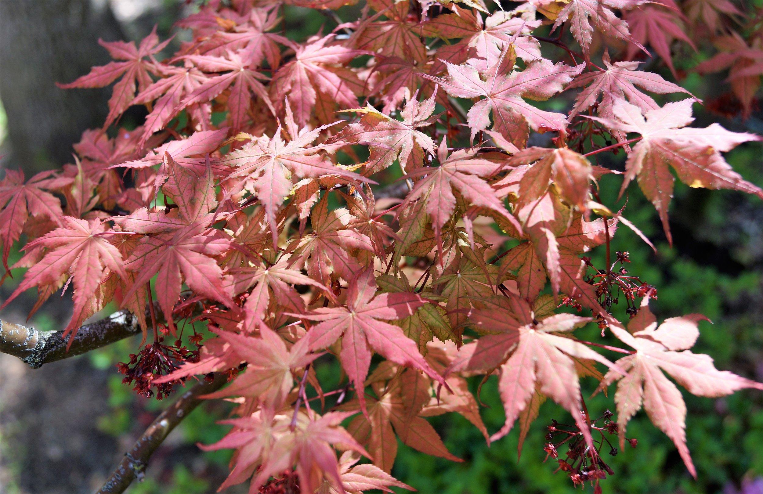 'Aka shigitatsu sawa' transitioning from spring to summer color.