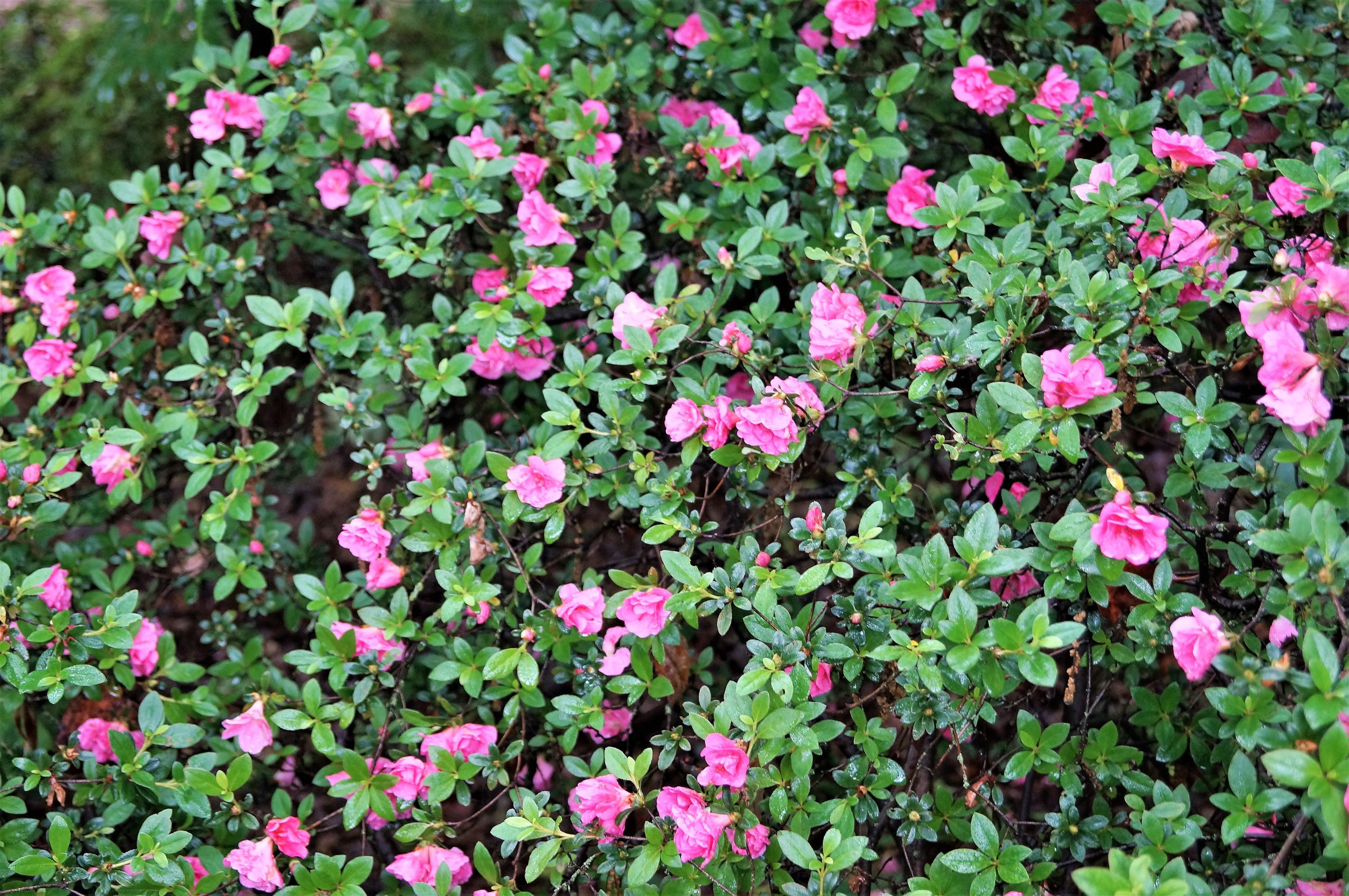Azalea 'Huang 2-7-51' has very small pink blooms to enjoy from late April through mid May. We have several in 1 gallon containers still available!