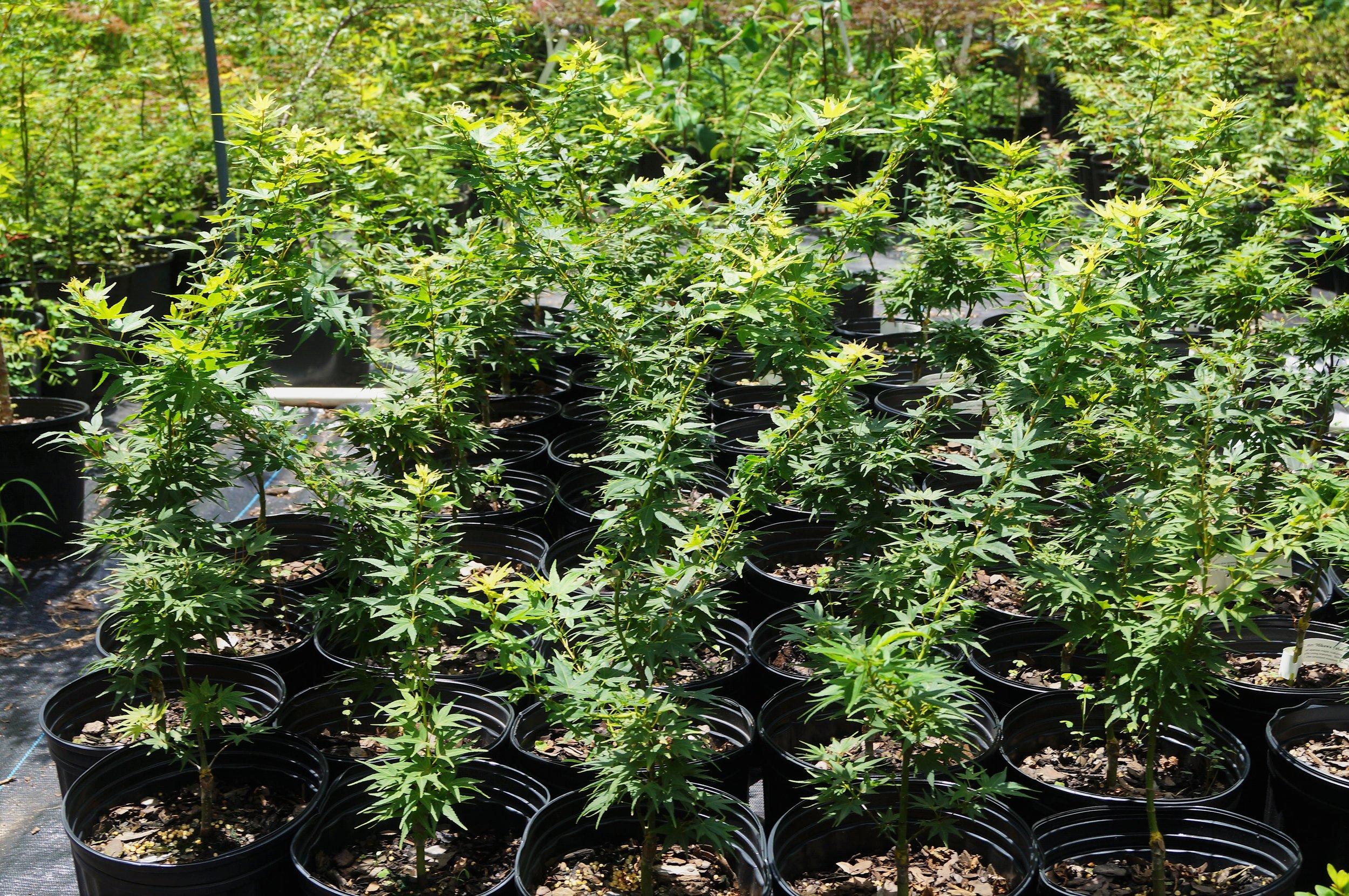 'Mikawa yatsubusa' 2 gallon trees growing like they're in Oregon!