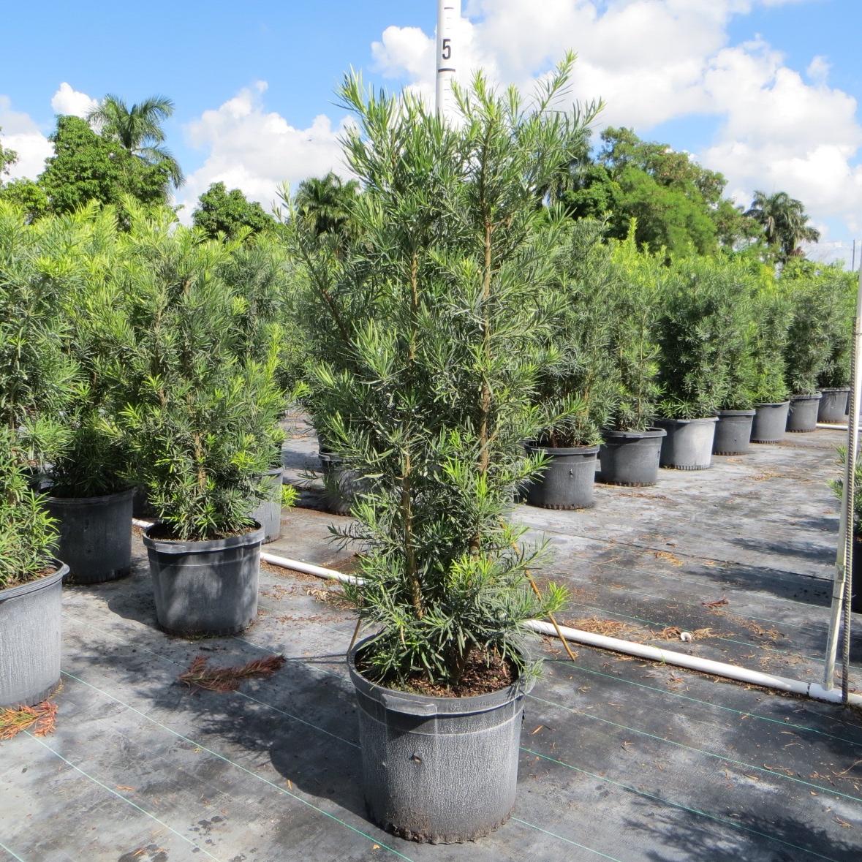 Podocarpus 'Maki' - 15 gal