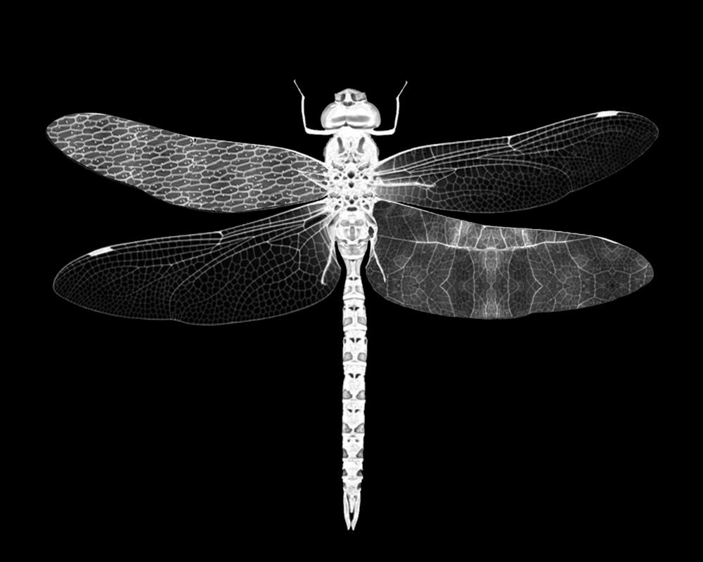 """Dragonfly   Gelatin Silver Print  30"""" x 24""""  2018"""