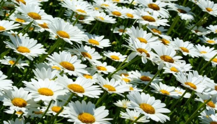 Slanting Daisies.jpg
