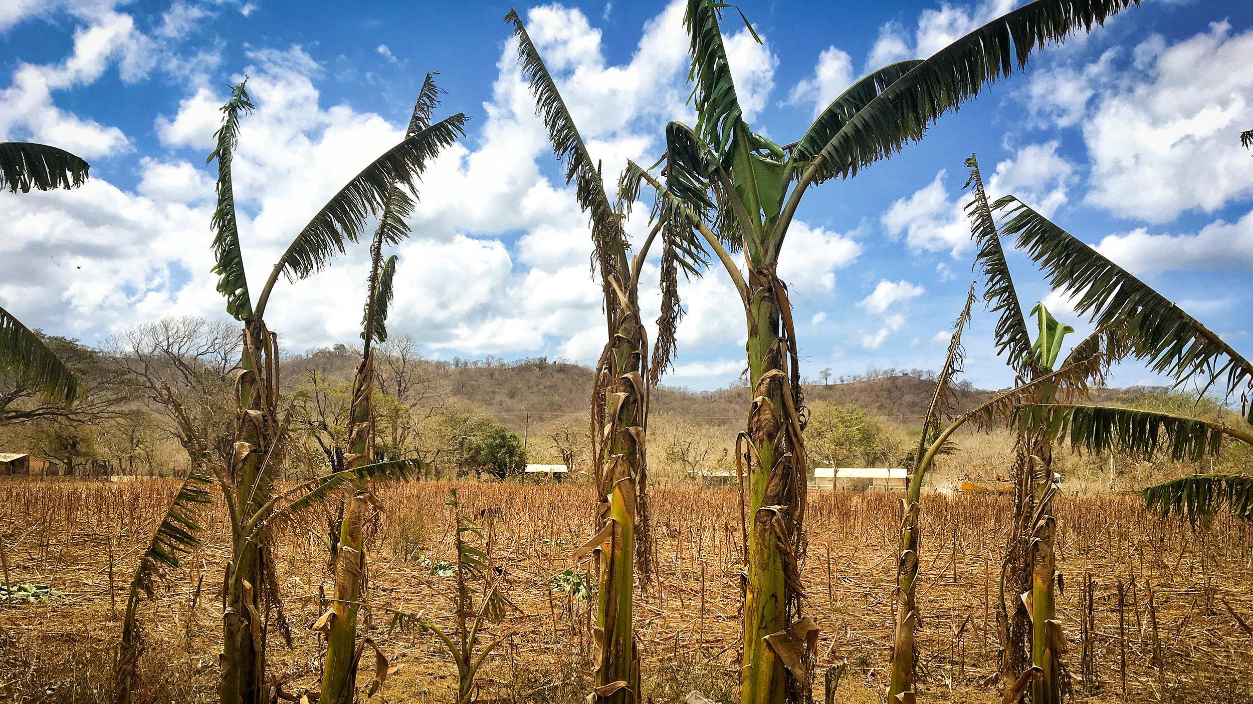 Dry plantain trees (1).jpg