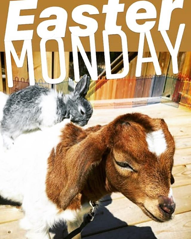 Bunny & Goat Petting  at Brio!  Hotel Brio is excited to host the bunnies and goats from Mesa Sostenible from 12pm - 2pm Monday April 22  Easter Piñata at 2pm  Happy hour all afternoon!! 12pm till 5pm  Chill Beats by the Pool all afternoon!! #goats #mesasostenible #babygoats #sustainability @hotelbrio