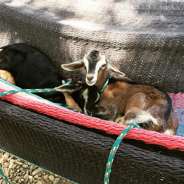 Baby Goats in a Hammock Mocha & Bailey napping after a busy morning of being cuddled.  #goats #babygoats #briohotel #mesasostenible #nicaragua @hotelbrio @juntosbeachbar