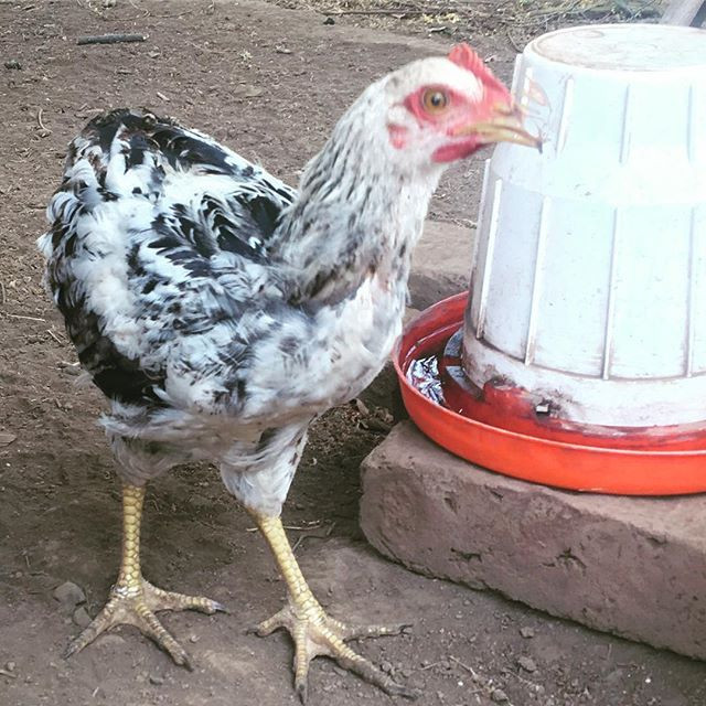 They're getting bigger. Should be no time till we start getting fresh eggs again! #sustainability #mesasostenible #chickens #permaculture