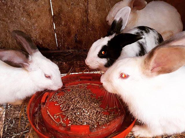 Tiempo para cena! #rabbit #bunny #permaculture #sustainability