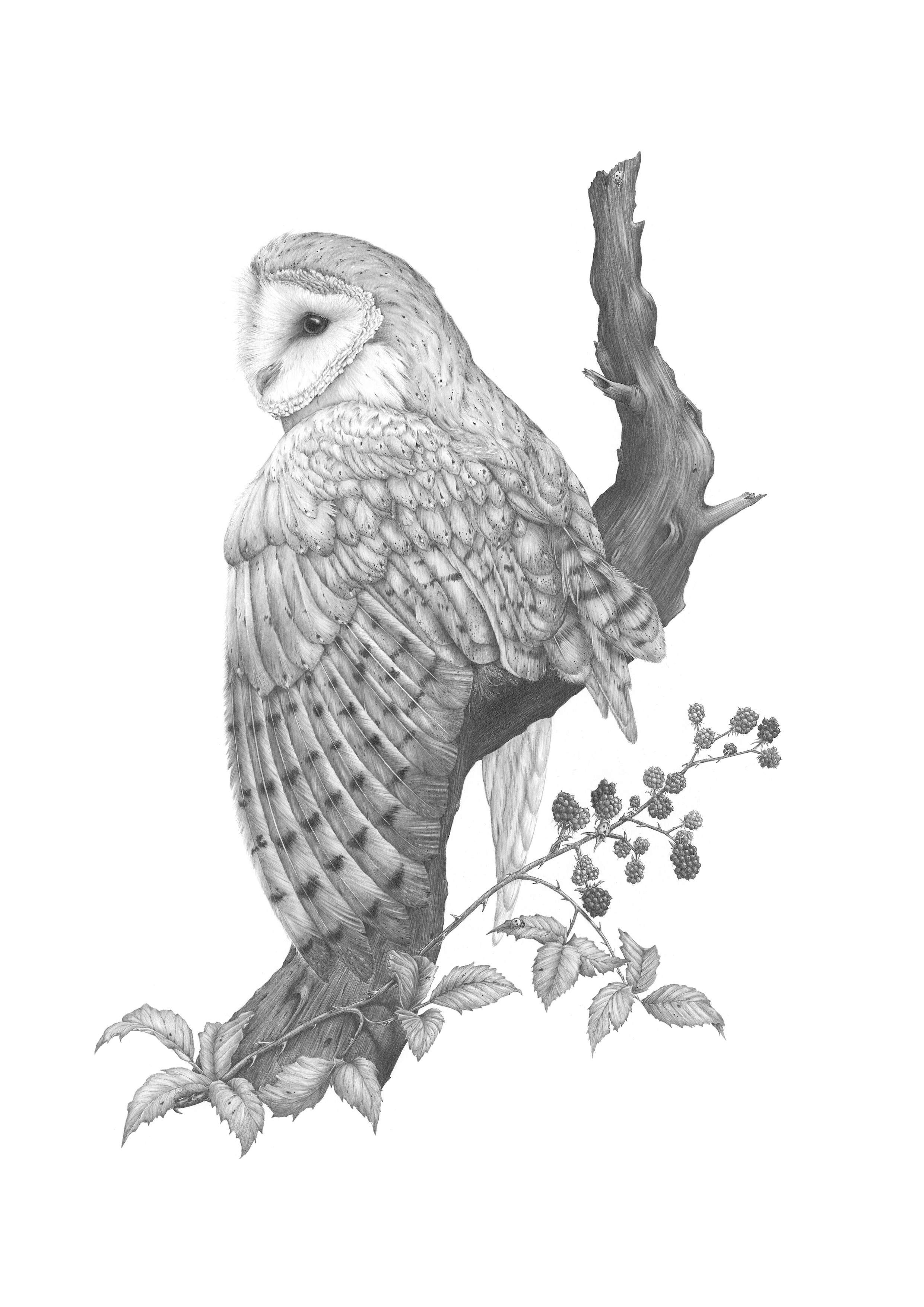 """Tyto alba""   Barn Owl   Graphite Pencil on 220gsm paper.    Professionally framed.    Cost - £600.00 - SOLD"