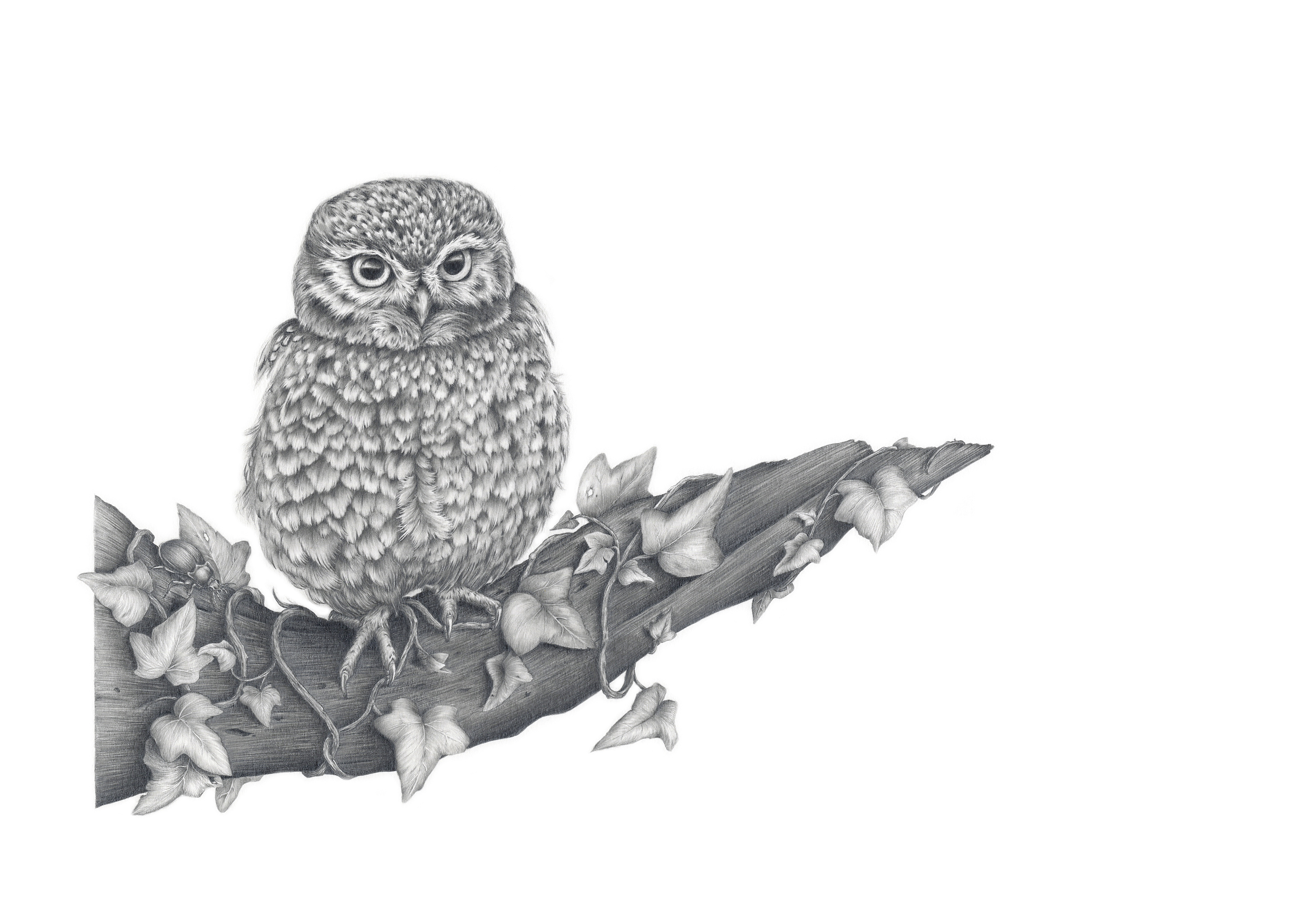""" Athene noctua""    Little Owl   Graphite pencil on 220gsm paper.  Professionally framed."