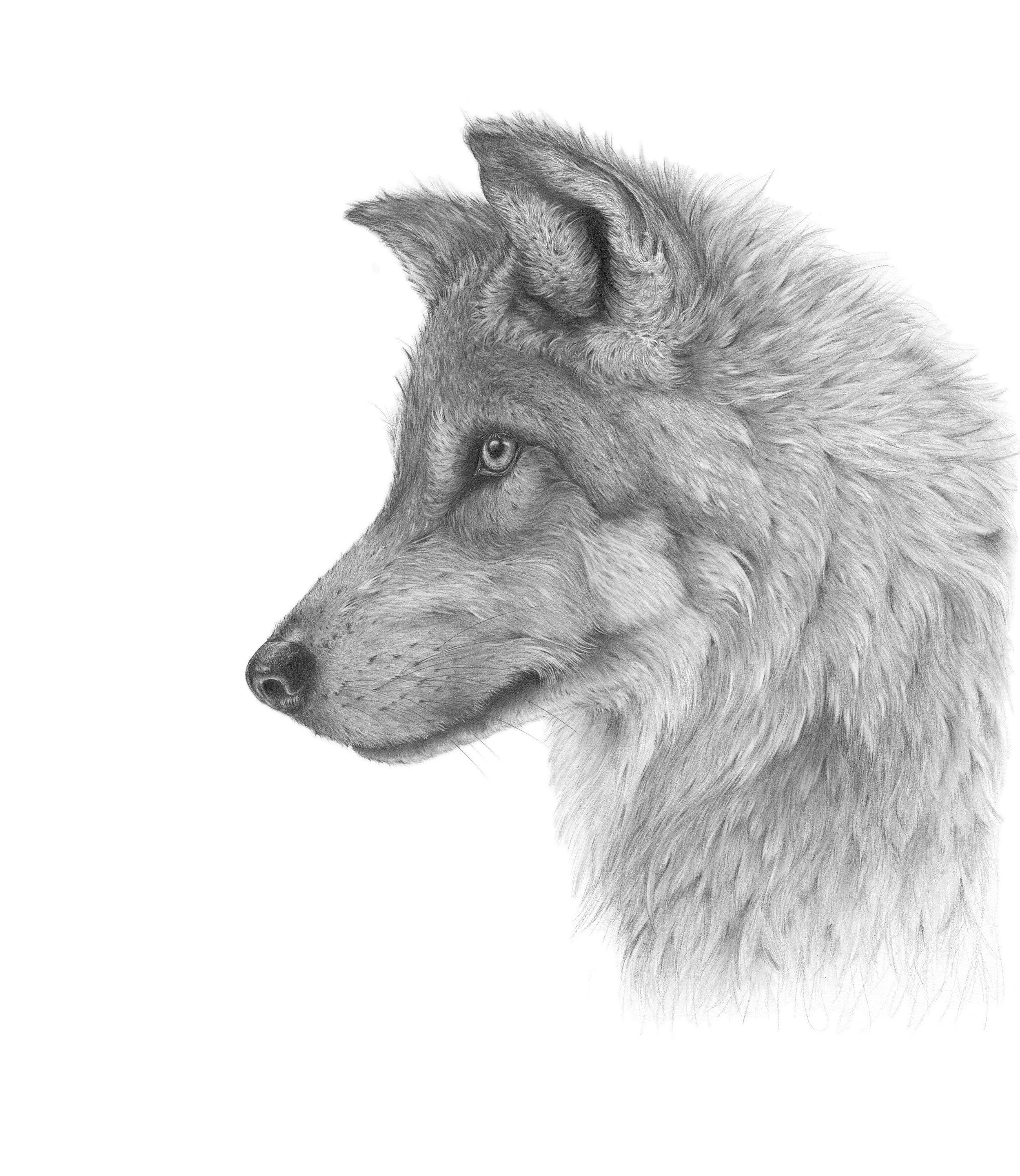 'Wolf'  Graphite Pencil on 220gsm paper