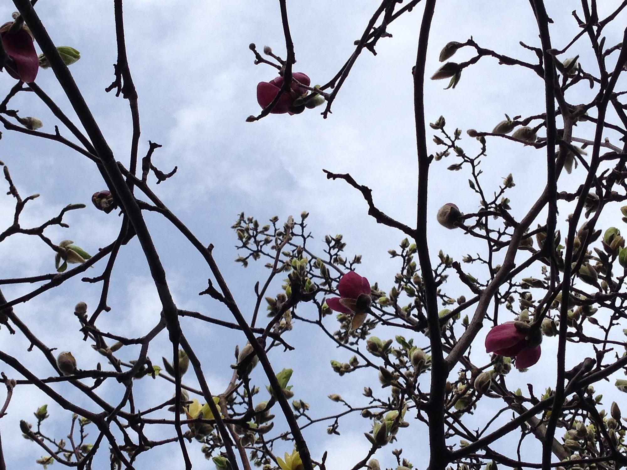 D_2014.04.magnolia.6.jpg