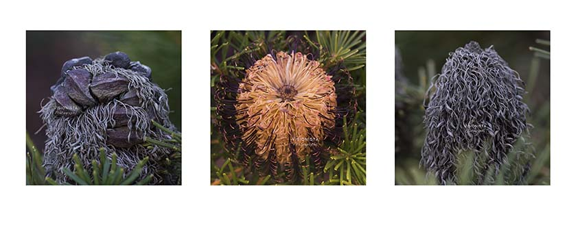 - 12th August 2017Countdown to Spring. I get older but feel like the banksia in the middle.Early mornings I resemble the right image.Seeds of youth refuse to leave.Our two year old garden already holds promise and loss.Pending blooms touch the primal core.
