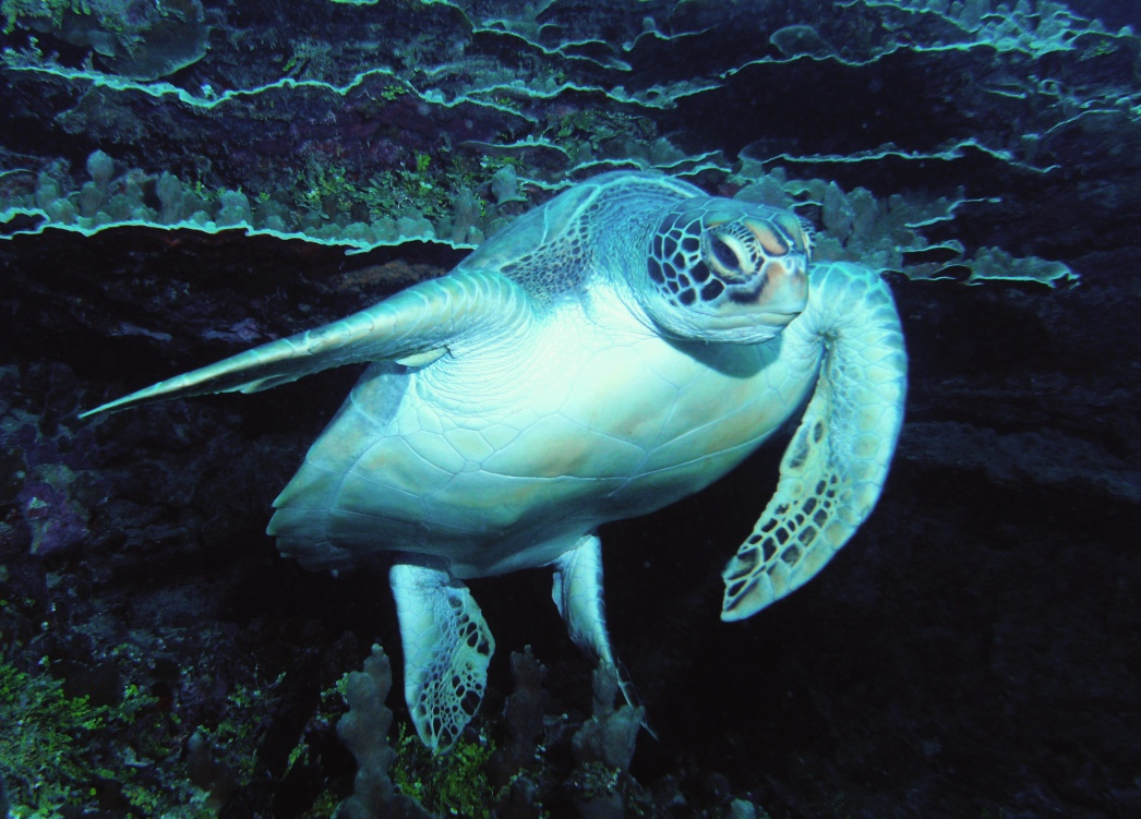 turtle headon PICT0104 colorexp1 15X11 300_1024.jpg