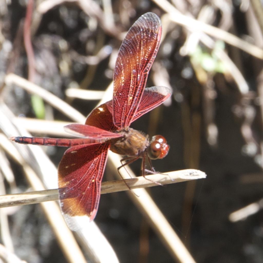 dragonfly DSC_2533 1111 300DPI_1024.jpg