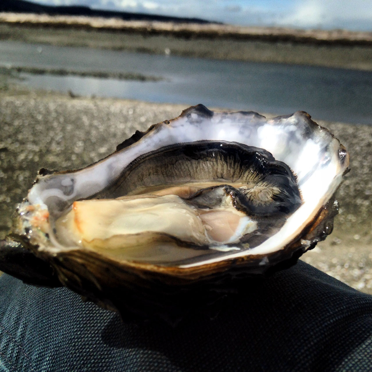 learn to shuck oysters and forage clams hood canal