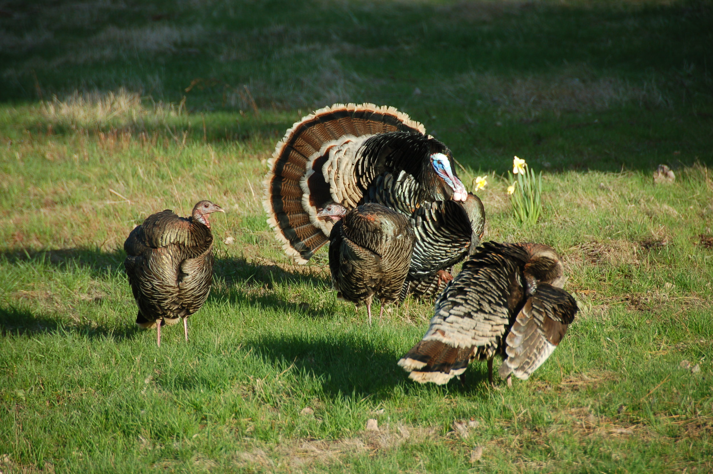 Kettle turkeys 2013-04-18 006.JPG