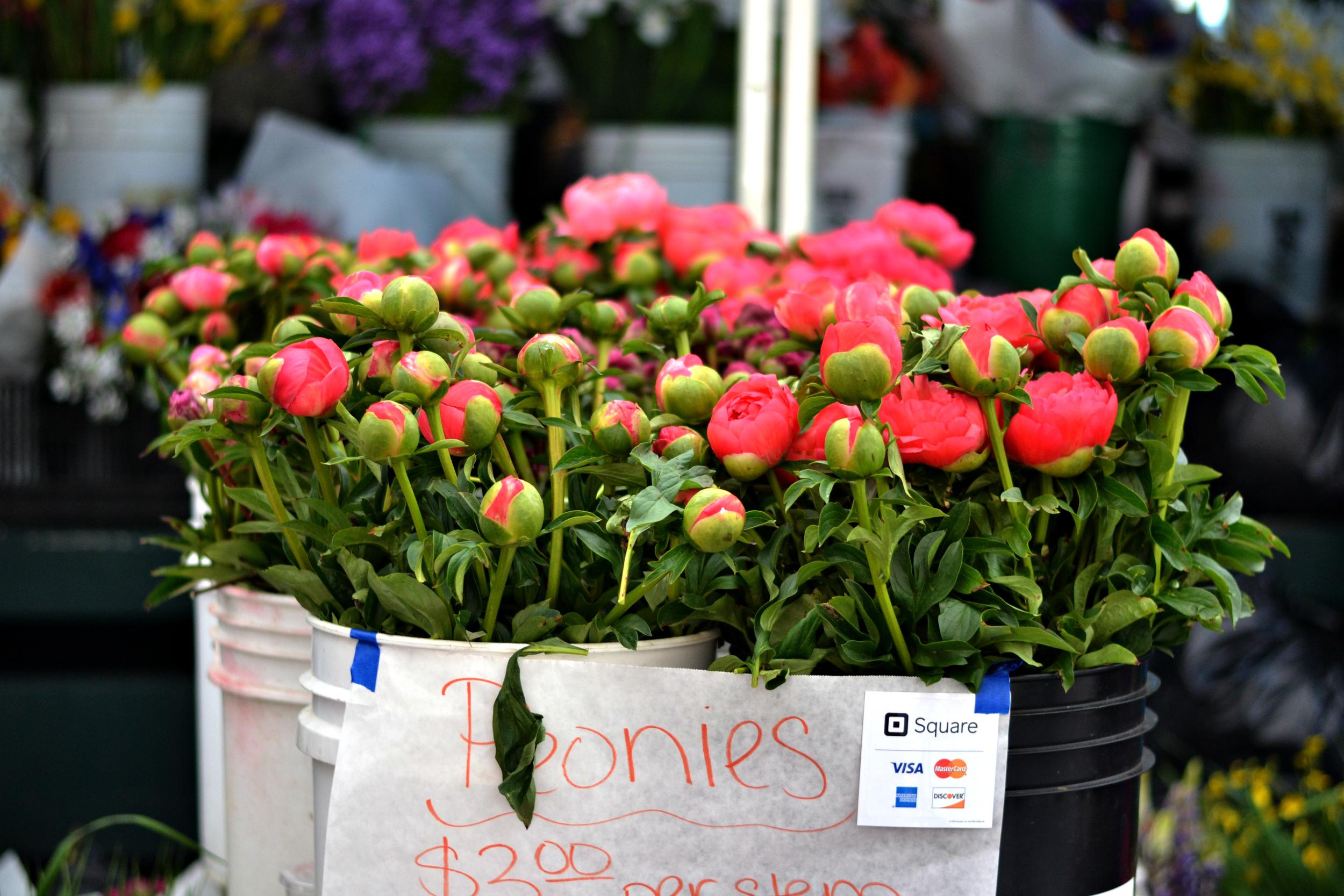 Blooming Peonies - So Beautiful!