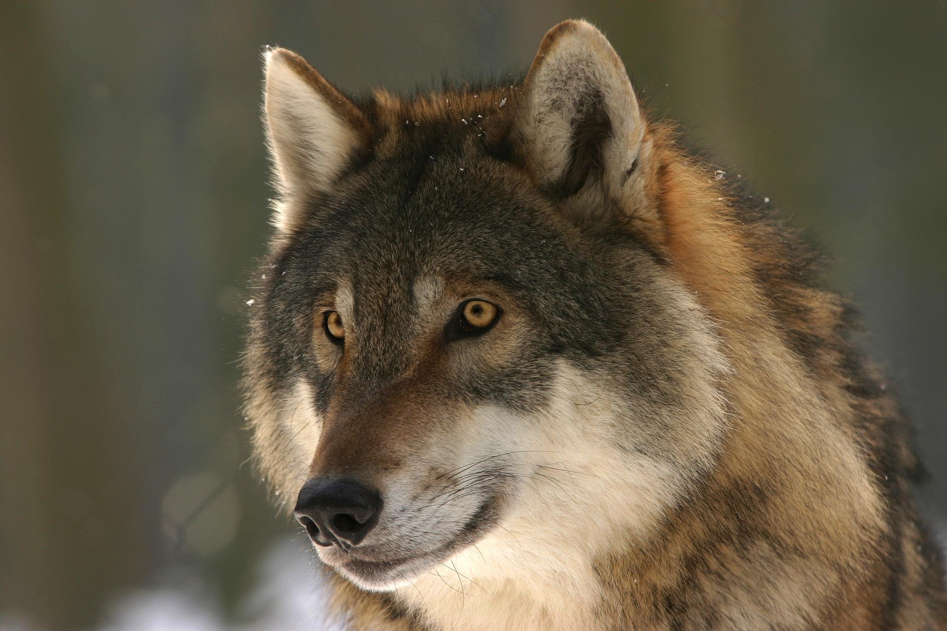 wolf, lupus, learn latin with Latinitium.jpg