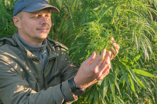 Cannabis Farmer.jpg