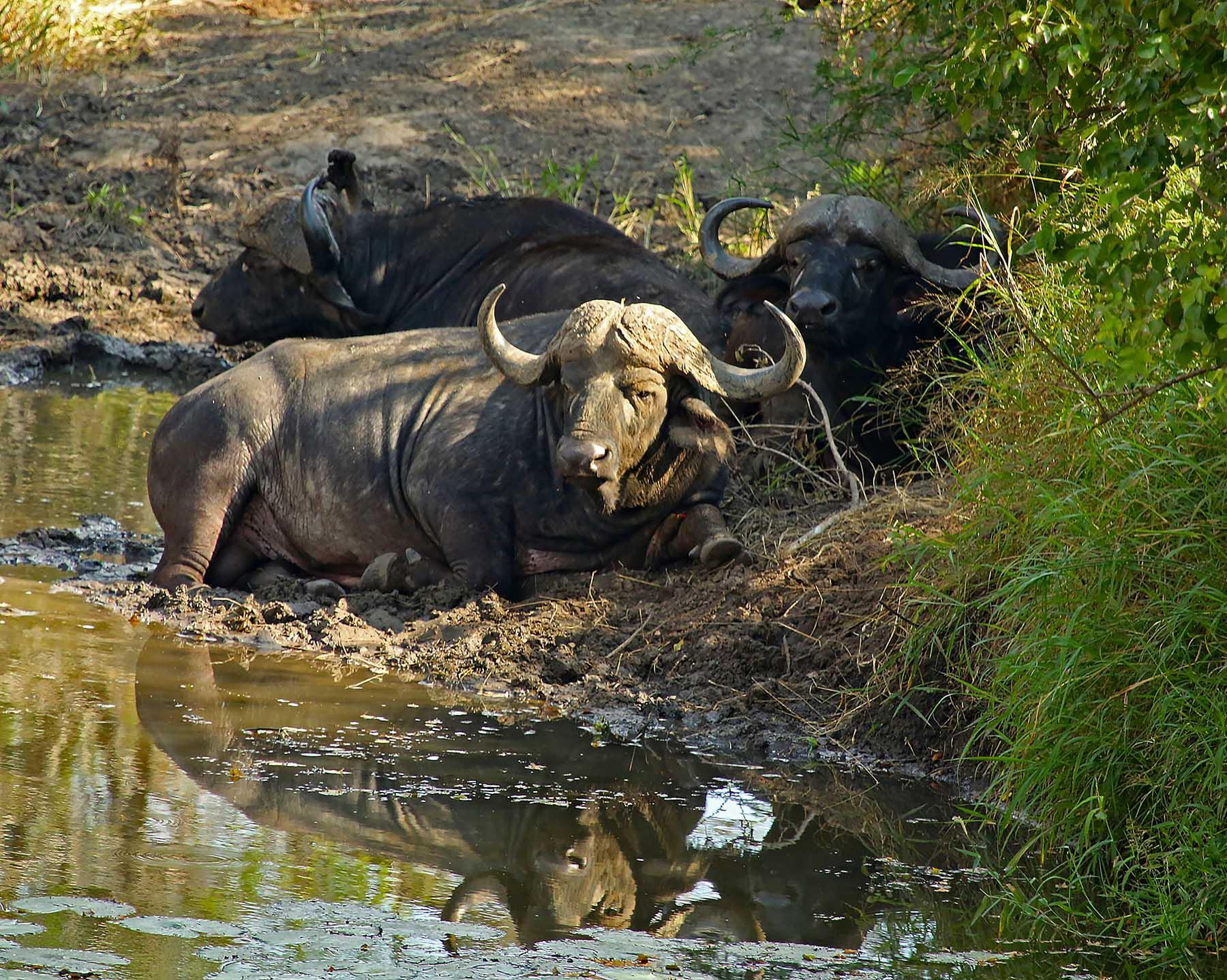 Cape_Buffalo