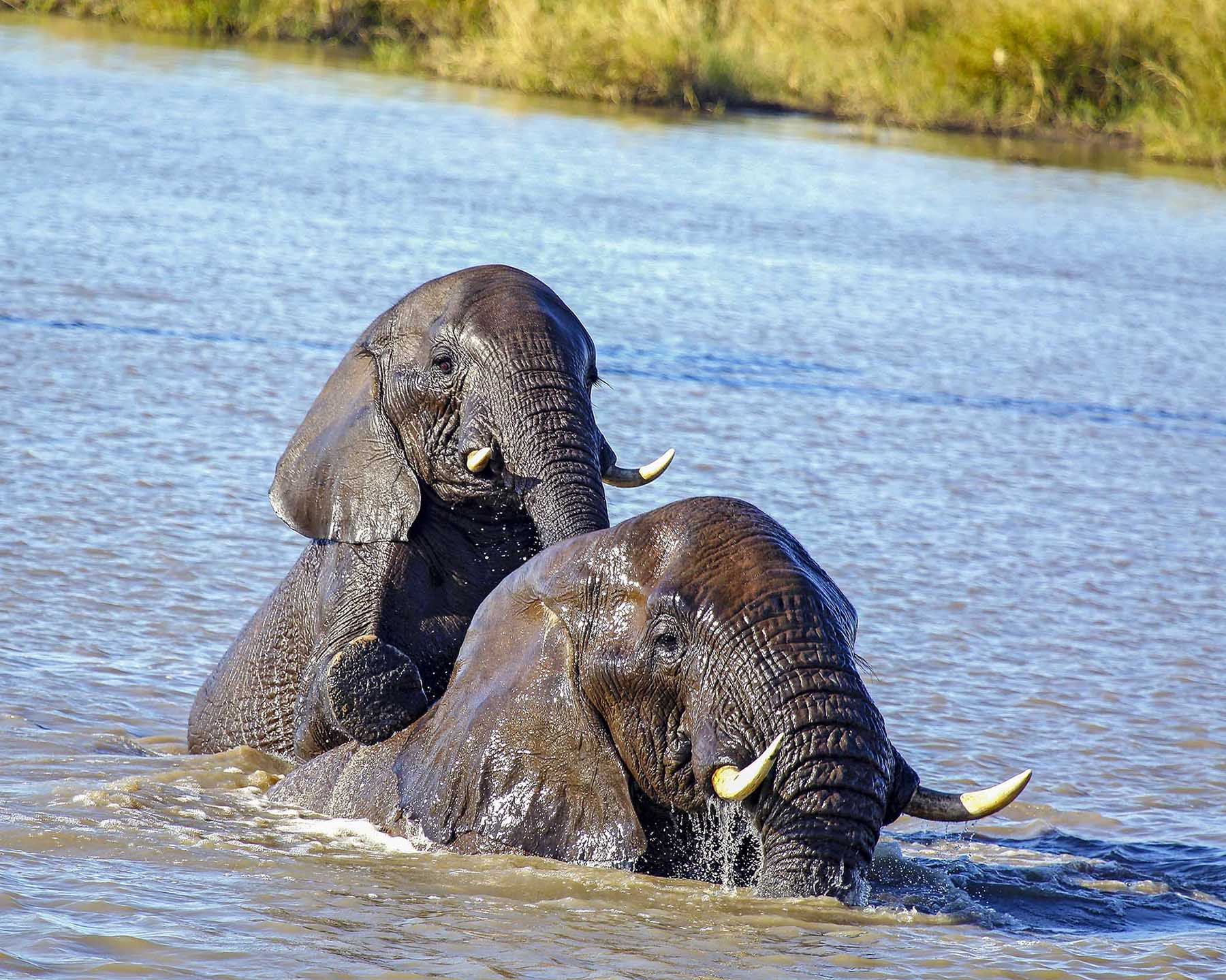 Young_Elephants _Playing