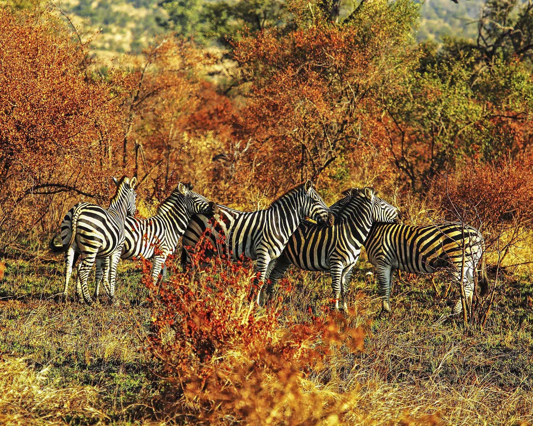 Zebras_2