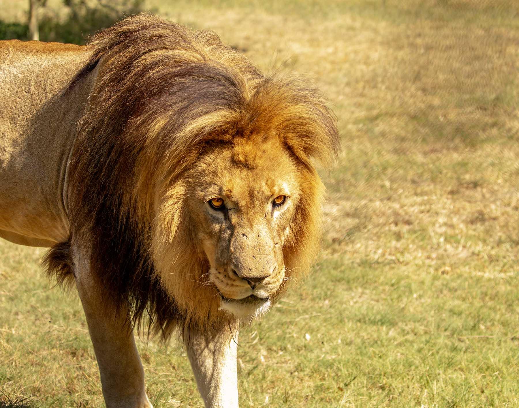 Male_Lion_2
