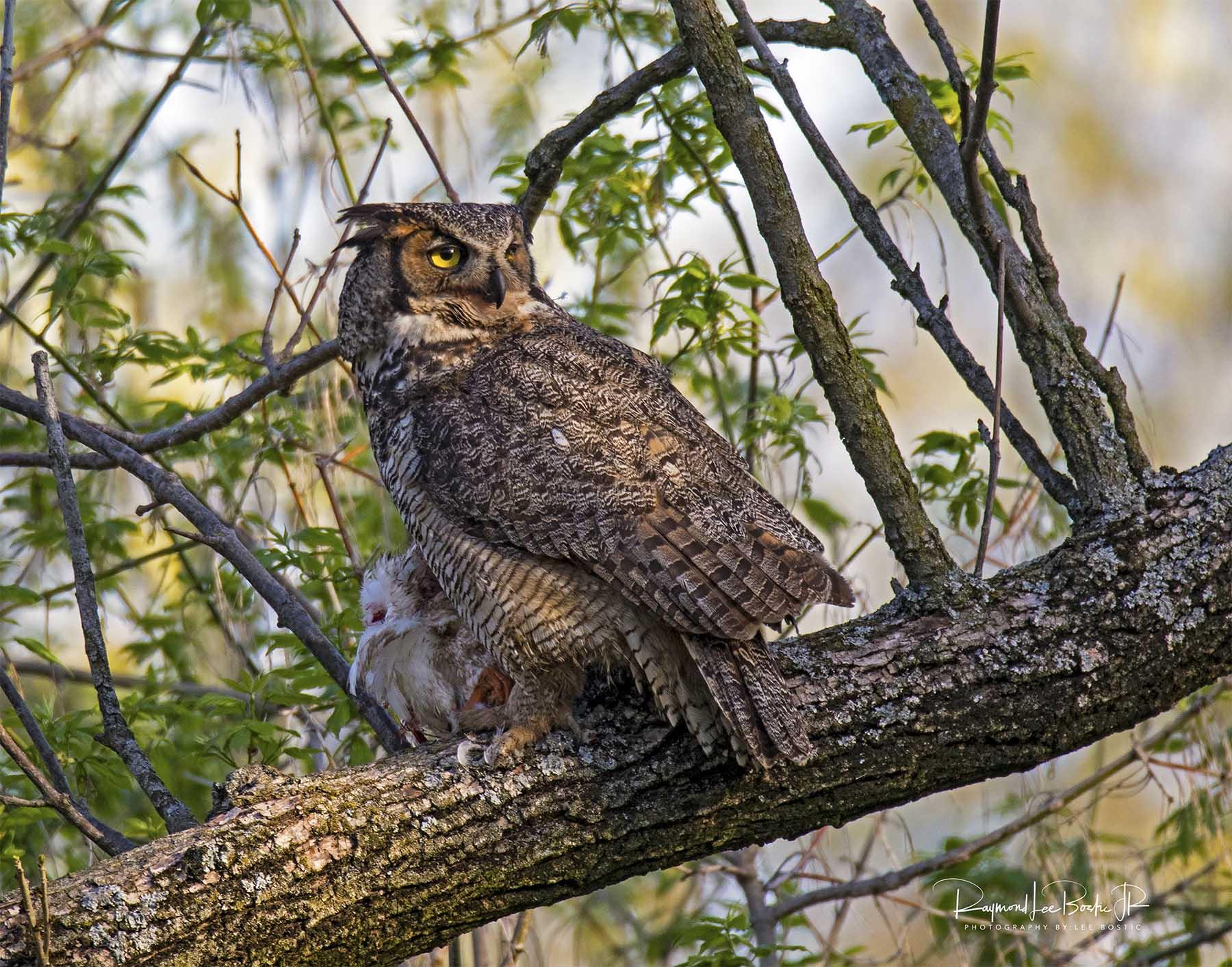 Great _Horned_Owl