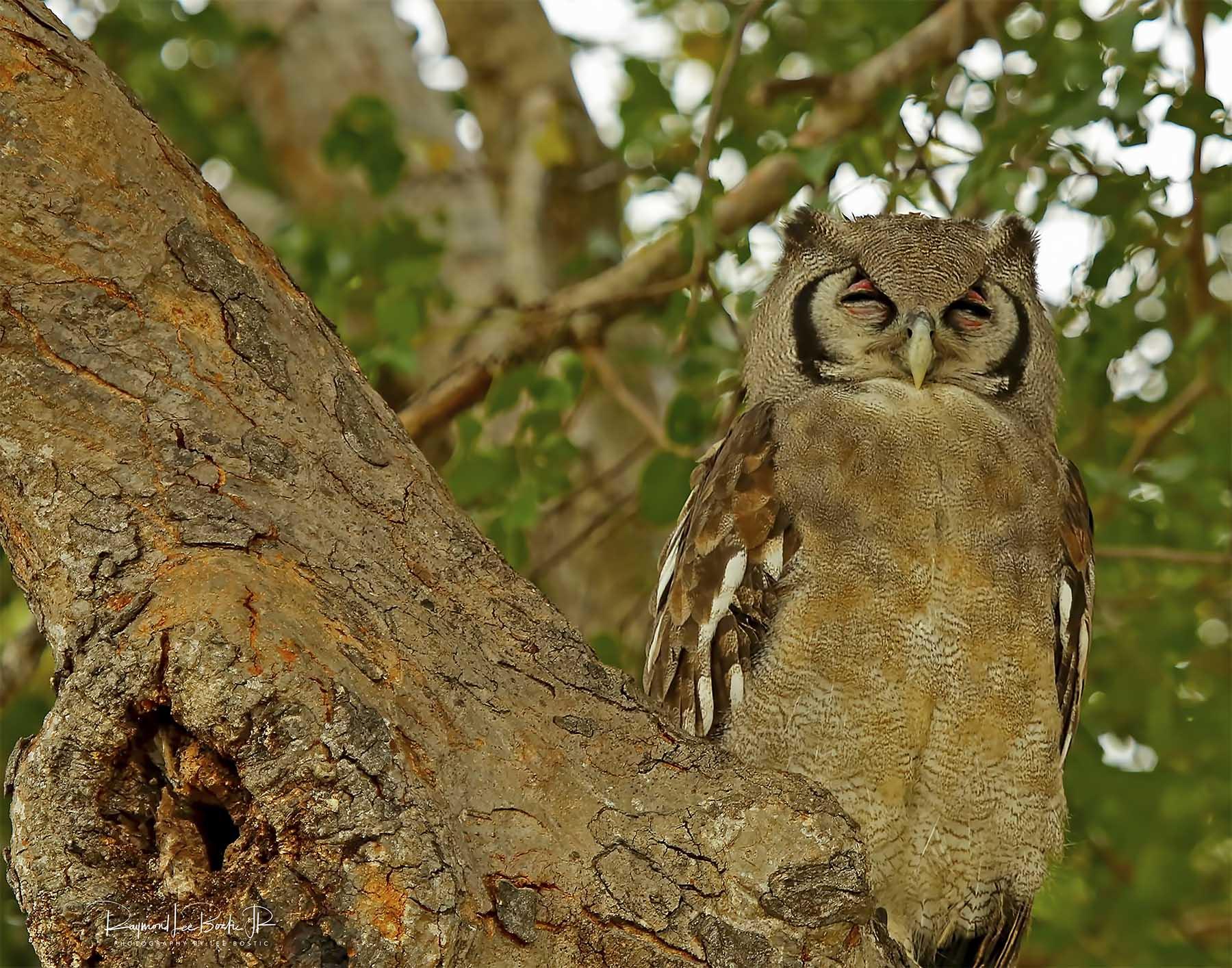 African_Verreaux_owl