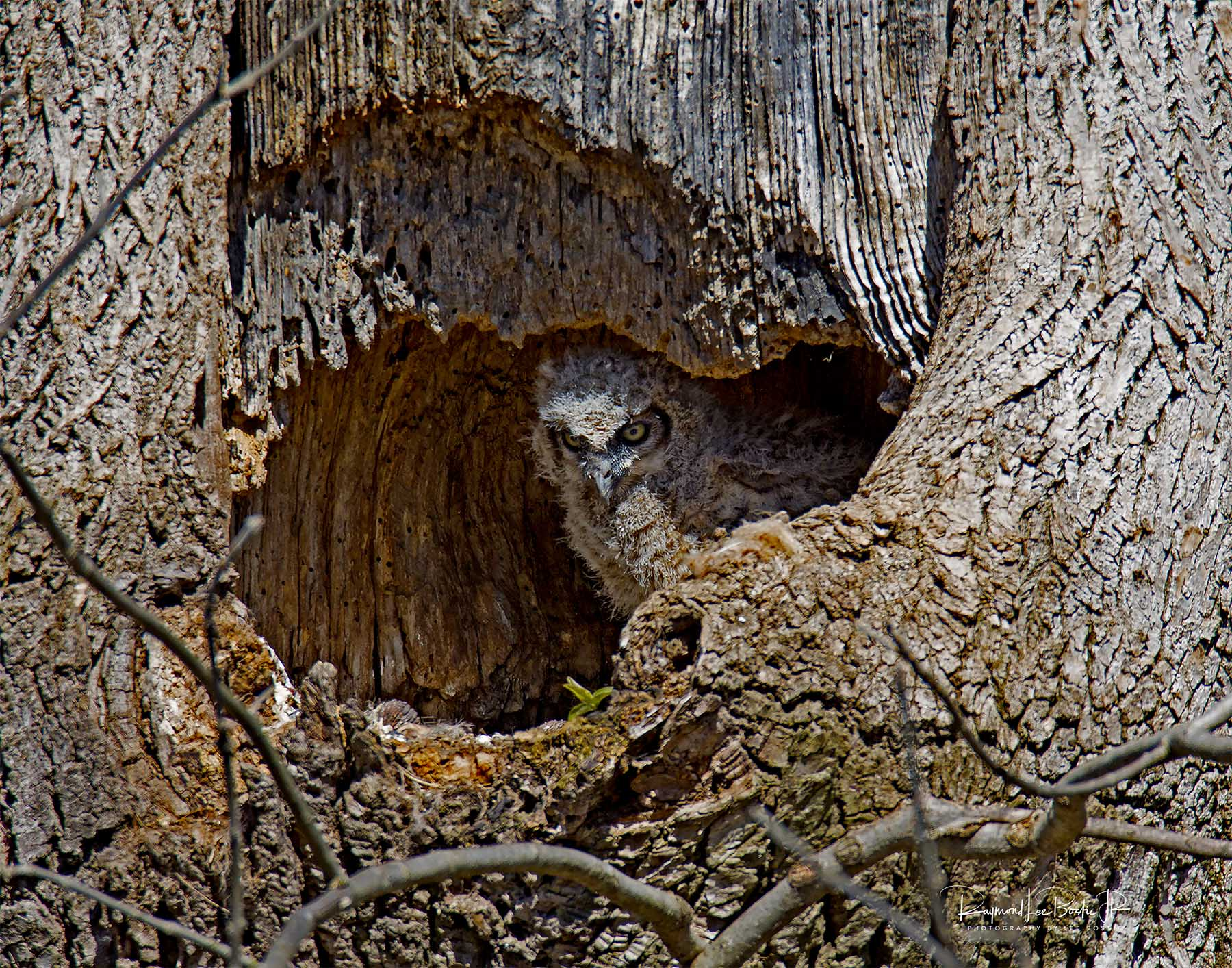 Great _Horned_Owlet